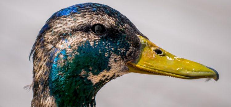 The Eye of the Duck Scene